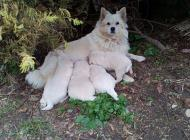 Inzercia psov: Darujeme šteniatka nem...