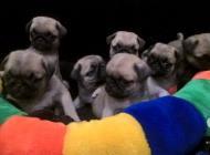 Inzercia psov: MOPS šteniatka s PP