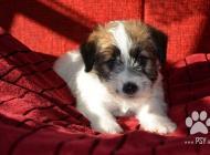 Inzercia psov: šteniatka Jack Russell...