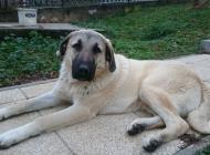 Inzercia psov: Krásne 7 mesačné šteňa...