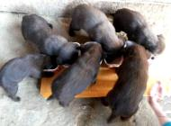 Inzercia psov: čokoládový labrador