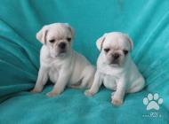 Inzercia psov: Mops vzácná bílá barva
