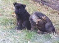 Inzercia psov: Štěňátka německých ovč...