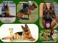 Inzercia psov: Predám šteniatka NO