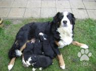 Inzercia psov: Bernsky salašnícky pes