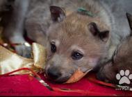 Inzercia psov: Zadáme štěňátka Guardi...