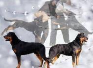 Inzercia psov: Beauceron - štěňata če...