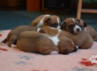 Inzercia psov: štěně basenji