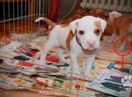 Inzercia psov: Štěňata APBT s PP