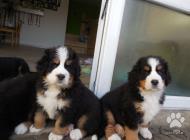 Inzercia psov: prodám štěnátka Bernsk...