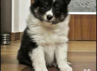 Inzercia psov: Volná trikolorní fenka...