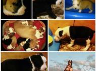 Inzercia psov: Americky staffordshire...