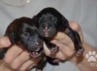 Inzercia psov: Štěně Tibetské dogy s PP