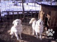 Inzercia psov: ponukam  štenatá
