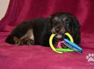 Inzercia psov: Hovawart – štěňata s PP