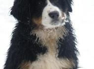 Inzercia psov: CHS nabízí štěňátka s ...