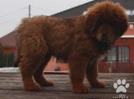 Inzercia psov: Tibetan mastiff červen...