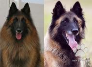 Inzercia psov: Belgický ovčiak Tervue...