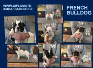 Inzercia psov: Štěňata francouzského ...