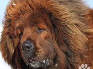 Inzercia psov: Tibetská doga červená ...
