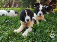 Inzercia psov: Landseer steniatká na ...