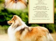 Inzercia psov: Kryci pes Sheltie