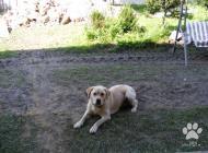 Inzercia psov: Darujem Labradora.