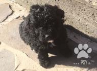 Inzercia psov: Predám 6 šteniatok
