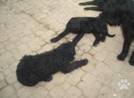 Inzercia psov: Predaj Bradač velky či...