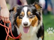 Inzercia psov: Austrálsky ovčiak šten...