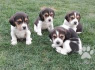 Inzercia psov: Predám Bígl / Beagle