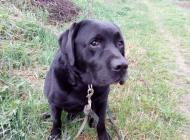 Inzercia psov: Darujem Labradora
