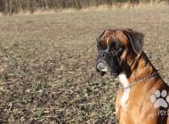 Inzercia psov: Štěňata německého boxe...