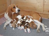 Inzercia psov: Švýcarský honič s PP