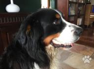 Inzercia psov: pes na krytie