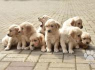 Inzercia psov: Štěňata Zlatý retriver...