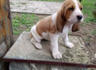 Inzercia psov: Švajčiarsky durič,švyc...