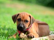Inzercia psov: Rhodéský Ridgeback - š...