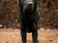 Inzercia psov: Ponuka psa na krytie