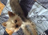 Inzercia psov: Hľadám mini yorkshira ...