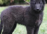 Inzercia psov: Belgický ovčák groenen...