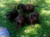 Inzercia psov: Predam šteniatka labra...