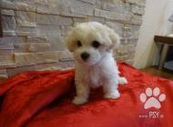 Inzercia psov: Bolonský psík, šteniatka