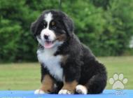 Inzercia psov: Bernský salašnický pes...