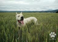 Inzercia psov: Argentinska doga- krytie