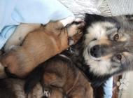 Inzercia psov: Krížené šteniatka Lapi...