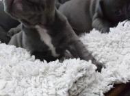 Inzercia psov: Francúzsky buldocek modry