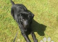 Inzercia psov: Labrador čistokrvný 20...