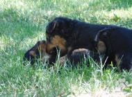 Inzercia psov: PREDÁM ŠTENIATKA WELSH...