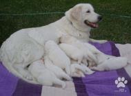 Inzercia psov: Nádherné šteniatka Slo...